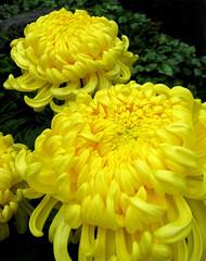 """Kiku"" (Puzzler4879) Tags: flowers yellow ngc mums yellowflowers pointshoot nybg botanicgardens chrysanthemums canonpowershot kiku newyorkbotanicalgarden canondigital yellowchrysanthemums canonaseries yellowmums canonphotography canonpointshoot a580 canona580 canonpowershota580 powershota580"