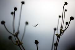 (Armin Synek) Tags: macro ex canon eos spider sigma os apo anemone spinne f28 dg windrschen 180mm hsm 5dmarkiii