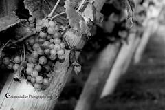 Grapevine (Sk8eMom) Tags: travel blackandwhite food landscape vineyard pretty wine drink unique winery vineyards grapes taste growing grape grapevine wines align somethingsweet newportrhodeisland foodandwine newportvineyards newportvineyard