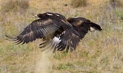 Wedge tail Eagles-1095 (rawshorty) Tags: birds australia canberra act jerrabomberrawetlands rawshorty