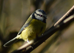 Blue Tit on Cherry Tree