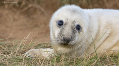 Seal Pup (KHR Images) Tags: wild baby cute nature mammal nikon wildlife lincolnshire 300mm seal newborn pup youngster f4 halichoerusgrypus greyseal wildlifetrust donnanook atlanticgreyseal d7100 horseheadseal kevinrobson khrimages