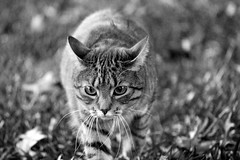 fierce (JRG Imaginarium ) Tags: wild blackandwhite baby brown cute cat canon 50mm eyes kitten fierce adorable jungle cuddly savannah dogfight catfight t3i