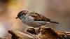 Sparrow (m_hamad) Tags: park usa bird nature beauty birds canon zoo dc farm wildlife explore sparrow nationalzoo nationalgeographic birdshot greatnature naturebeauty swampsparrow supershot 60d ultimateshot dazzlingshot blinkagain