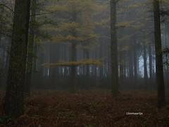 Mist in het Gulpdal (llovmaartje) Tags: autumn mist tree fog landscape flora groen magic herfst legio landschap colourfull zuidlimburg lariks magisch gulpdal