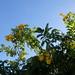 PA311451 Gelbe Trompetenblume (Tecoma stans) in Sesmarias bei Albufeira