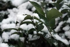 Snow (Hey Oh) (Sara_Dreamy25) Tags: white snow green nature hojas plantas nieve nevada snowing sleeves nevando