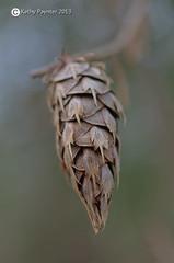 Macro Pine Cone (kathypaynter.com) Tags: macro forest cone acorn pinecone acorns cones pinecones forestmacro macropinecone foreststuff