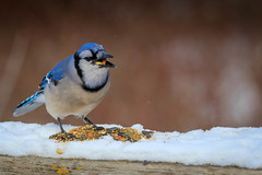 """""""Don't talk with your mouth full!"""" (hey its k) Tags: winter birds bluejay img1831 cherryhillrbg"""