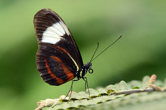 Cydno longwing (Rene Mensen) Tags: black beauty butterfly wings nikon vlindertuin longwing heliconius cydno d5100