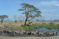 10072061 (wolfgangkaehler) Tags: africa travel people tourism water river tanzania mammal nationalpark african wildlife drinking tourist adventure safari zebra serengeti riverbank herd eastafrica drinkingwater eastafrican tanzanian serengetinationalpark burchellszebra tanzaniaafrica burchellszebras serengetitanzania safarijeep safarivehicle burchellszebraequusquagga {vision}:{outdoor}=099 {vision}:{sky}=0619 {vision}:{mountain}=0532