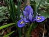 Blue blooms for gray skies (pawightm (Patricia)) Tags: austin texas springbulbs inmygarden irisreticulata miniatureiris centraltexas midfebruary backyardborder pawightm rscn84752162014120727pm