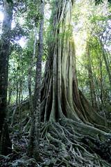 Strangler Fig (Ficus obliqua) Allyn River (Poytr) Tags: ficusobliqua ficus moraceae barringtontops stranglerfig arfp nswrfp subtropicalarf smallleaffig dungognsw allynriver trunk roots nsw australiasbiggesttrees