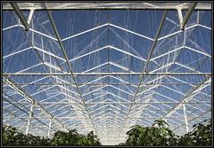 Through the glass roof (Ciao Anita!) Tags: friends netherlands geometry nederland symmetry greenhouse serra westland paprika olanda simmetria kas geometria zuidholland geometrie symmetrie peperone komindekas kwintsheul theperfectphotographer