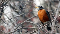 American Robin, Western Waterfront Trail, 04/09/14 (TonyM1956) Tags: tonymitchell duluth stlouiscounty minnesota nature birds thrushes americanrobin westernwaterfronttrail sonyphotographing sonyalphadslr