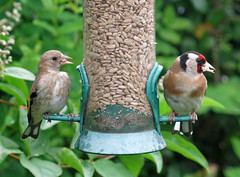 Goldfinch Parent & Baby (cocabeenslinky) Tags: world city uk red baby brown white bird london art nature yellow canon garden hearts photography european power shot natural photos young may seed feeder powershot chick goldfinches 2014 fringillidae carduelis g15 sunflowere cocabeenslinky