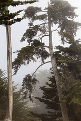 Trees in fog_4 (VeronicaMacaulay) Tags: trees tree nature fog landscape outdoors treetrunk cambria californiacoast treesinfog