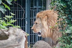 20150718_24 - Lwe (grasso.gino) Tags: nature animals cat zoo tiere nikon natur lion katze mighty dortmund lwe mchtig d3000