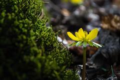 (Péter Bubla) Tags: ngc hungary flower aconite spring