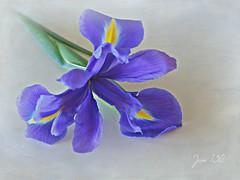 Take me with you ... (Jan 130) Tags: spring primavera printemps iris blue topaz textured flower plant vår pomlad frühling ngc npc