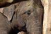Sleeping Beauty (K.Verhulst) Tags: aziatischeolifant aziatischeolifanten asiaticelephants elephants olifanten amersfoort dierenparkamersfoort
