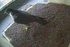 Charlie visits the new nest box