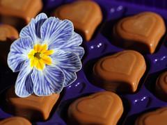 Herzliche Verführung! (ingrid eulenfan) Tags: macromondays macro makro herz heart blume blüte primel schokolade chocolate sweet sie süsigkeiten süs