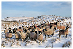 Sheep in the Snow (Digital Wanderings) Tags: sheep snow swaledalesheep yorkshiredales flock winter england