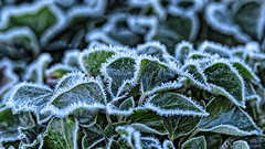 Frosty (MrBlueSky*) Tags: frost foliage green leaves nature ice texture outdoor plant kewgardens london ngc aficionados pentax pentaxart pentaxk1 pentaxlife pentaxawards pentaxflickraward
