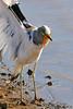 White-crowned Lapwing (Vanellus albiceps) showing its carpal spurs ... (berniedup) Tags: whitecrownedlapwing vanellusalbiceps carpalspur lapwing taxonomy:binomial=vanellusalbiceps spur sunsetdam lowersabie kruger