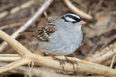White-crowned Sparrow (tresed47) Tags: canon400mmf56l 2017 201702feb 20170223chestercountybirds birds canon7d content folder lancastercounty pennsylvania peterscamera petersphotos places sparrow strubledam takenby us whitethroatedsparrow