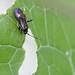Adelphocoris seticornis  (Miridae) - Gelbsaum-Zierwanze