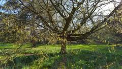 "Weeping Hornbeam...Carpinus Betulus. ""Pendula"" (standhisround) Tags: trees tree treemendoustuesday nature hornbeam weepinghornbeam carpinusbetuluspendula flowers royalbotanicalgardens london kewgardens kew rbg"