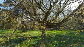 Weeping Hornbeam...Carpinus Betulus.