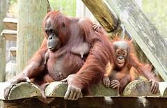 Chillin with Mom (dina j) Tags: florida tampabay lowryparkzoo zoo orangutan babyorangutan babyanimal primates