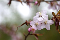 Blossoms Away! (jasohill) Tags: plants nature japan cherry spring blossoms foliage iwate     matsuo hachimantai   2013  t