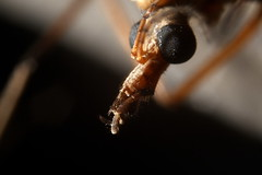 Head of a crane fly (Tyrone Williams) Tags: macro nature closeup bug insect fly depthoffield homemade 7d extremecloseup homemadelens daddylonglegs creepycrawlies cranefly 100iso extrememacro extensiontubes tipulidae bbcwales highspeedflash 2013 highspeedflashsync bbcwalesnature canon7d bbcnature 7dcanon 3580macro canon3580modifiedmacrolens