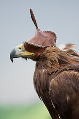 Portrait of eagle (Amickman) Tags: iris pakistan wild portrait brown bird nature face animal square looking eagle head background wildlife beak feather getty species hunter endangered creature majestic gettyimages falconry vertebrate plumage leucocephalus gettyimagesmiddleeast