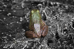 Froggy (suszkology) Tags: bw white black amphibian frog froggy