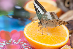 1 of my 5 a day! (Pinti 1) Tags: orange beauty fruit butterfly eating wildlife