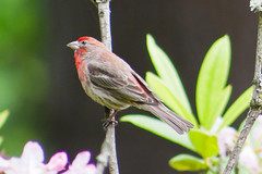 House Finch (Dave In Oregon) Tags: red bird nature oregon finch housefinch carpodacusmexicanus