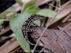 DSCN1860 (Eye-View Photography) Tags: life wild eye nikon reptile lizard kingston jamaica eyeview superzoom onpoint