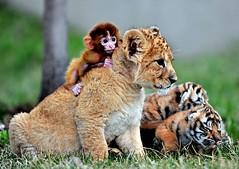 reuters_rtxz8ei_1152594 (STARSIMAGES) Tags: felini animali cuccioli