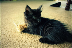 First foster kitten (K. Sawyer Photography) Tags: black toy kitten foster tiny string a1671661