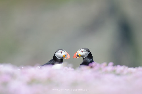 Bonding Puffin couple