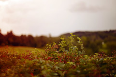 creeping vines (carlamgk) Tags: field 50mm vines afternoon bokeh country hillstead