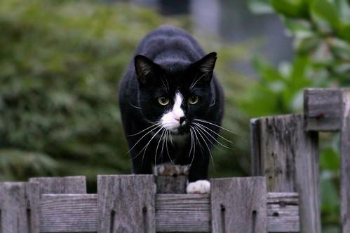 Bad, bad black and white cat