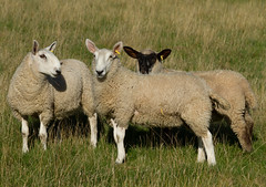 Three Lambs (Mukumbura) Tags: england wool field grass sunshine animal june spring sheep farm coat somerset domestic pasture lamb agriculture fleece livestock