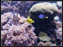 fish tank palettesurgeonfish yellowtang zebrasomaflavescens sphaeramianematoptera paracanthurushepatus chirurgienbleu pajamacardinalfish chirurgienjaune apogonpyjama