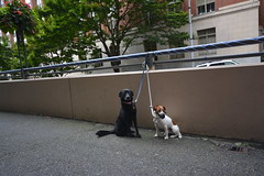 Seattle Dogs (kellymariemckay) Tags: seattle city white black dogs outside washington mutt mix downtown labrador terrier tiedup muzzle